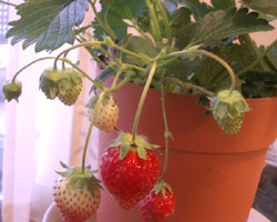 20070402strawberry02
